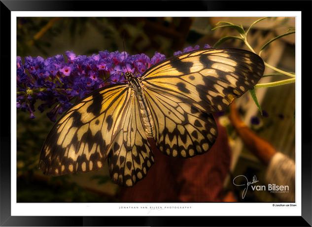Images of Butterflies - IB004 - Jonathan