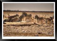 Zebras of Africa - 011 - © Jonathan van