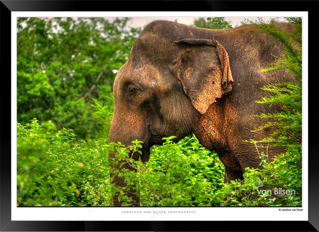 Elephants of Sri Lanka -  IOSR- 026.jpg
