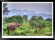 Elephants of Sri Lanka -  IOSR- 024.jpg