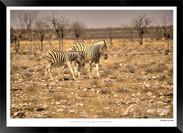 Zebras of Africa - 018 - © Jonathan van