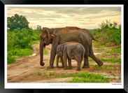 Elephants of Sri Lanka -  014 - ©Jonathan van Bilsen.jpg