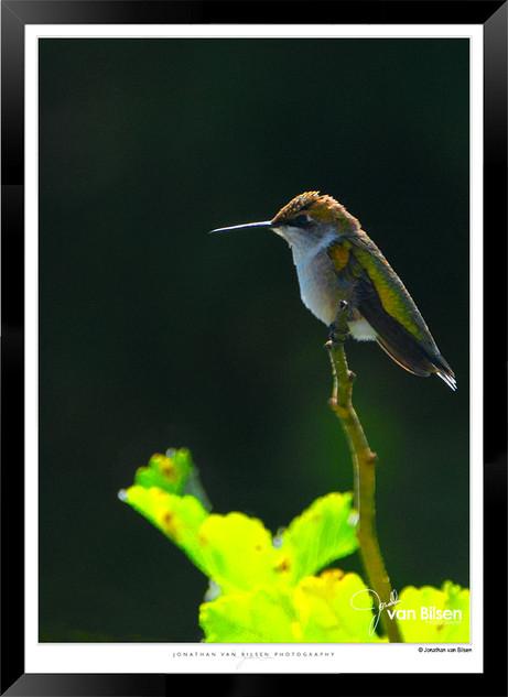 Hummingbird Feeding - IOPP-064 - Jionath