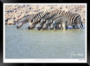 Zebras of Africa - 001 - © Jonathan van