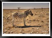 Zebras of Africa - 020 - © Jonathan van