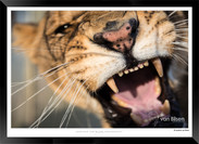 Cats_of_Africa_-_012_-_©_Jonathan_van_B