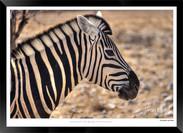 Zebras of Africa - 021 - © Jonathan van