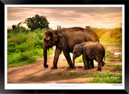 Elephants of Sri Lanka -  001 - ©Jonathan van Bilsen.jpg