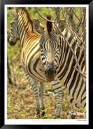 Zebras of Africa - 002 - © Jonathan van