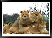 Cats_of_Africa_-_001_-_©_Jonathan_van_B
