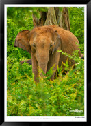 Elephants of Sri Lanka -  017 - ©Jonathan van Bilsen.jpg