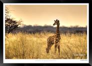 Giraffes_of_Namibia_-_002_-_©_Jonathan_