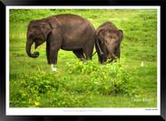 Elephants of Sri Lanka -  004 - ©Jonathan van Bilsen.jpg
