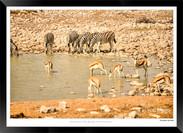 Zebras of Africa - 026 - © Jonathan van