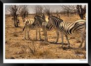 Zebras of Africa - 022 - © Jonathan van
