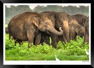Elephants of Sri Lanka -  006 - ©Jonathan van Bilsen.jpg