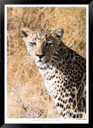 Cats_of_Africa_-_011_-_©_Jonathan_van_B