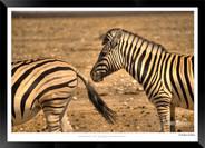Zebras of Africa - 015 - © Jonathan van