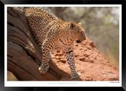 Cats_of_Africa_-_002_-_©_Jonathan_van_B