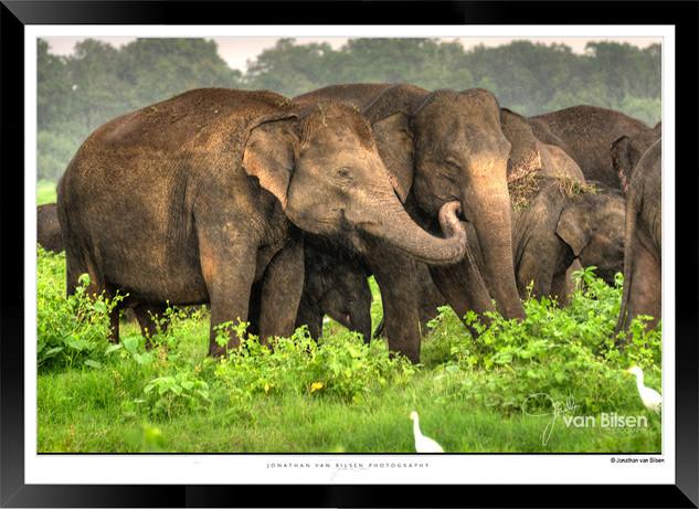 Elephants of Sri Lanka -  IOSR- 018.jpg