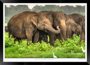 Elephants of Sri Lanka -  IOSR- 018.jpg