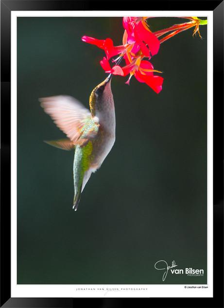 Hummingbird Feeding - IOPP-065 - Jionath