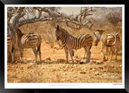 Zebras of Africa - 006 - © Jonathan van