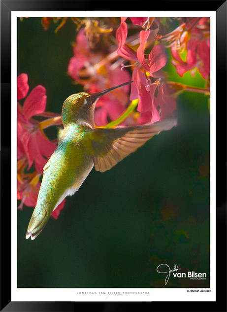 Hummingbird Feeding - IOPP-063 - Jionath