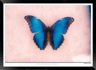 Images of Butterflies - IB008 - Jonathan