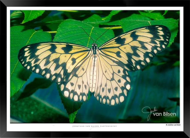 Images of Butterflies - IB002 - Jonathan
