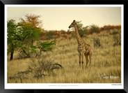 Giraffes_of_Namibia_-_003_-_©_Jonathan_