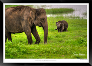 Elephants of Sri Lanka -  011 - ©Jonathan van Bilsen.jpg