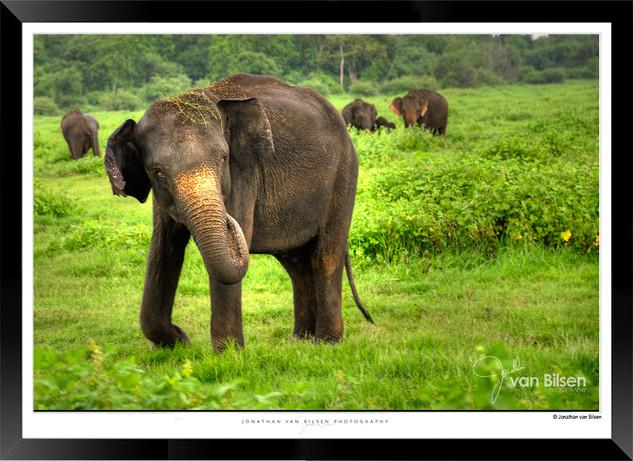 Elephants of Sri Lanka -  IOSR- 019.jpg