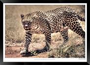 Cats_of_Africa_-_013_-_©_Jonathan_van_B