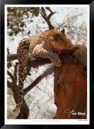 Cats_of_Africa_-_004_-_©_Jonathan_van_B