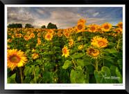 Sunflowers - IOPP-054 - Jonathan van Bil