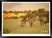 Giraffes_of_Namibia_-_005_-_©_Jonathan_