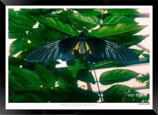 Images of Butterflies - IB005 - Jonathan