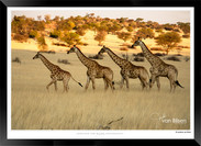 Giraffes_of_Namibia_-_001_-_©_Jonathan_