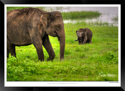 Elephants of Sri Lanka -  IOSR- 023.jpg