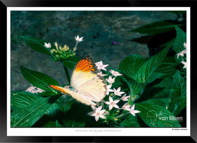 Images of Butterflies - IB007 - Jonathan