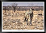 Zebras of Africa - 019 - © Jonathan van