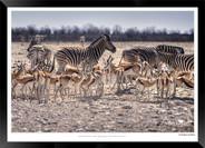 Zebras of Africa - 010 - © Jonathan van