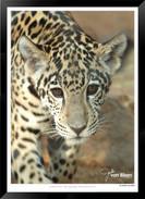 Cats_of_Africa_-_020_-_©_Jonathan_van_B