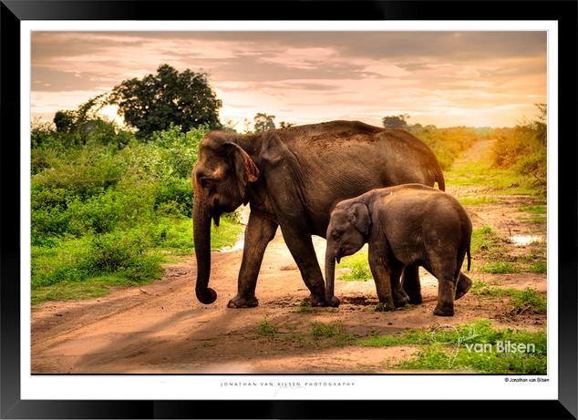 Elephants of Sri Lanka -  IOSR- 025.jpg