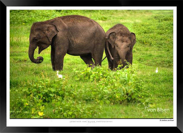 Elephants of Sri Lanka -  IOSR- 016.jpg