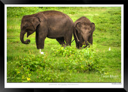 Elephants of Sri Lanka -  IOSR- 016.jpg