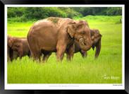 Elephants of Sri Lanka -  008 - ©Jonathan van Bilsen.jpg