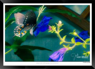 Images of Butterflies - IB006 - Jonathan