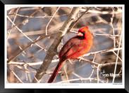 Cardinal - Jonathan van Bilsen.jpg